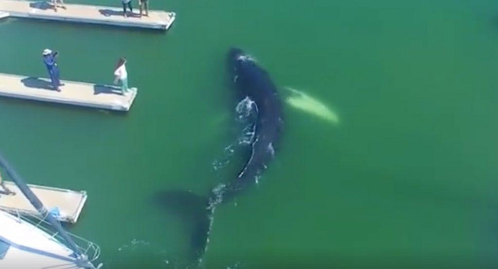 港に迷い込んだザトウクジラ。船や人間と比較すると、その巨大さに驚く。