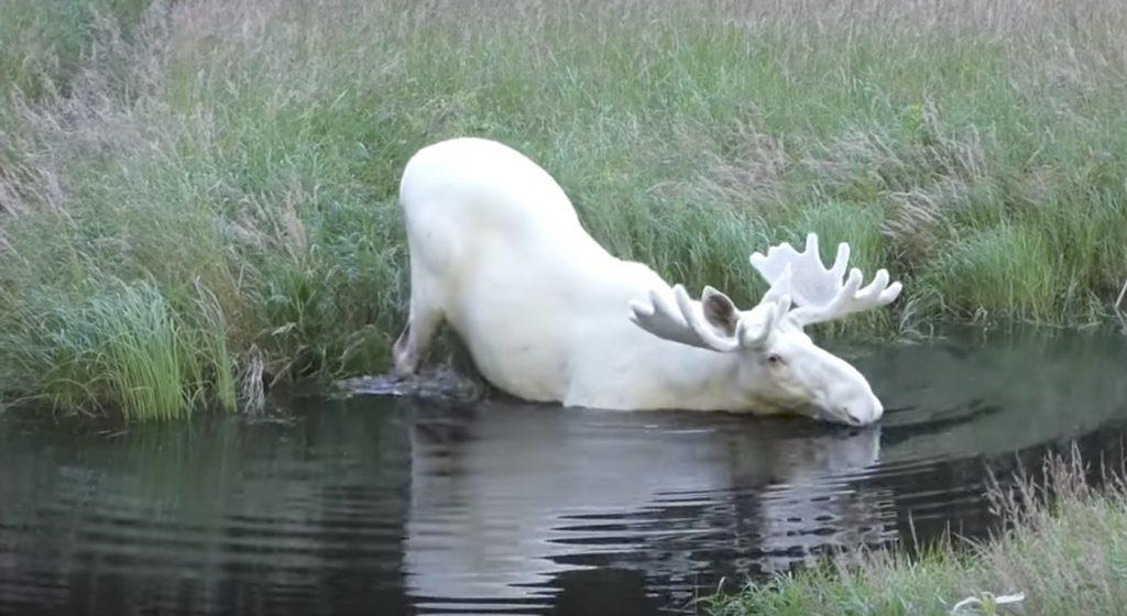 スウェーデンで発見された真っ白い「ヘラジカ」が神々しく美しい。まるで「シシ神」のよう