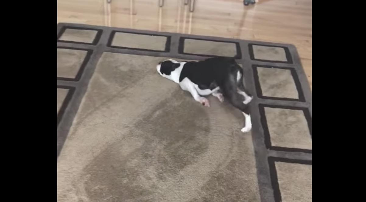 犬ルンバ?!変な体勢でカーペットの上を移動し続ける犬が面白い笑