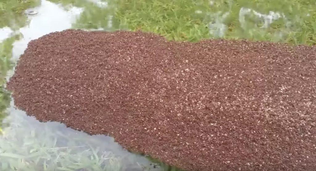 テキサスの大洪水で「ヒアリ」の大群がイカダで脱出!撥水性の布「ゴアテックス」と似た構造!