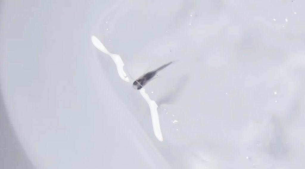 【衝撃】寒さで完全に氷漬けになった「メダカ」を解凍したら生き返った!!