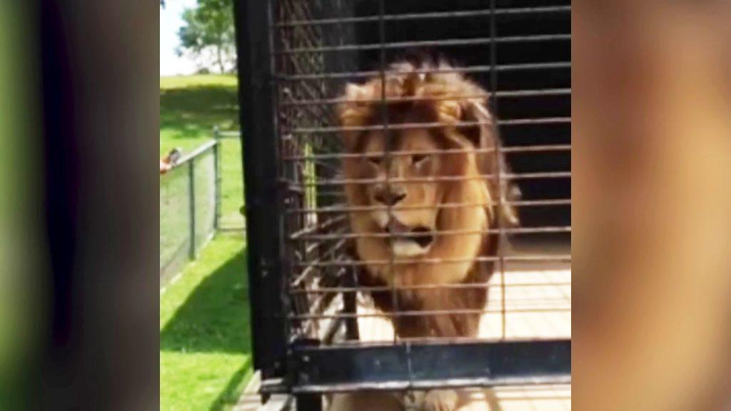 さすが「百獣の王」ライオン。檻の中にいても安心できない