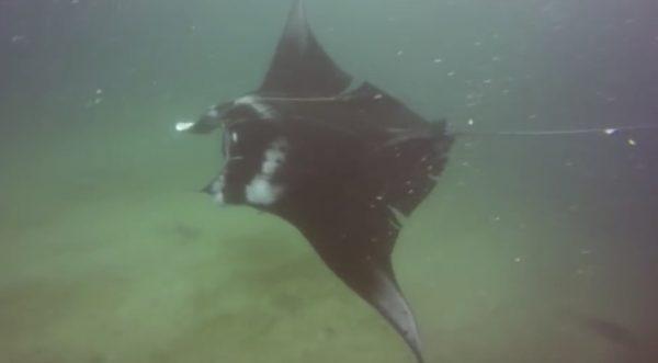 助けを求めるようにダイバーに近づいてきたマンタ。ボロボロの体には釣り糸が巻き付いていた