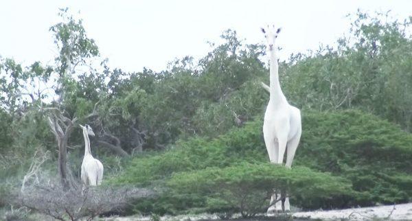 ケニアで美しい「白いキリン」の親子が発見される