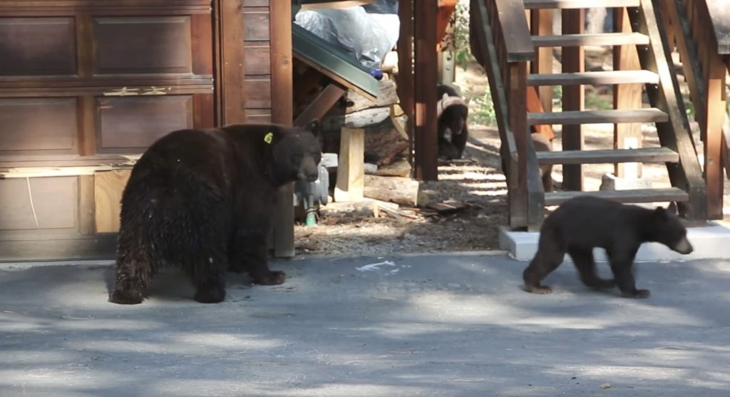 庭に熊の親子がやってきたのでバイオリンを弾いて聴かせてみた