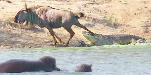 ワニに襲われたヌーを、カバが助けた!その真相とは?