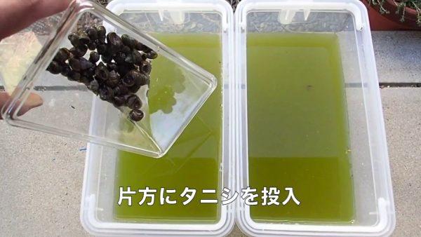 濁った水に「タニシ」を入れたら2時間で透明に!