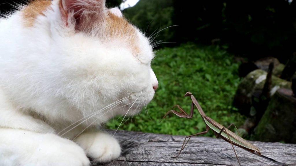 カマキリに惨敗する猫先輩の動画が海外で人気に笑