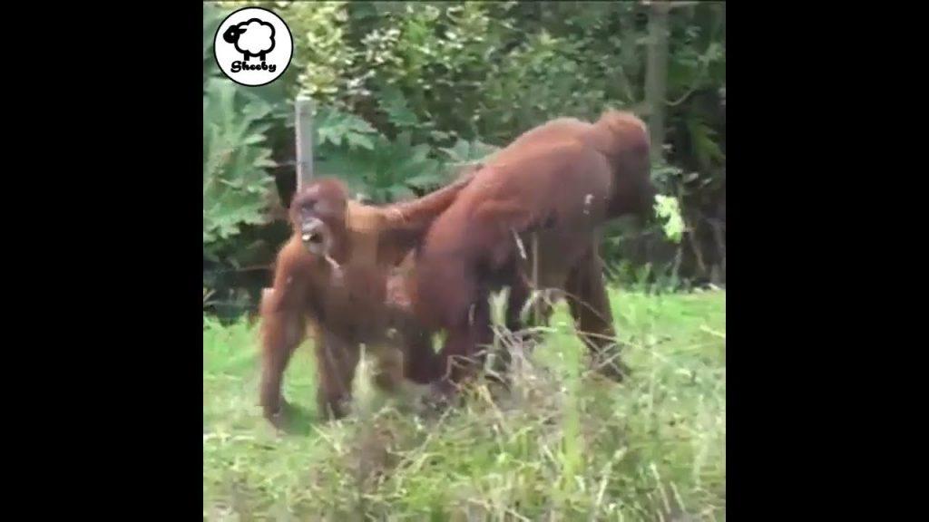 「まだ帰りたくない!」赤ちゃんオランウータンと、母オランウータンの攻防戦が人間みたい笑