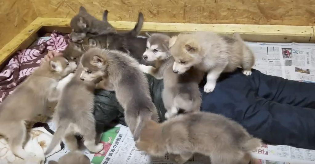 オオカミ犬の子供達10匹に襲われた男性がうらやましい笑