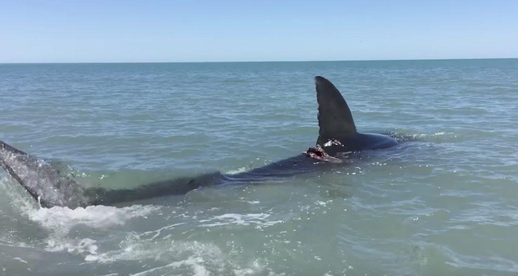 浅瀬に来た巨大ホオジロザメに大接近!人間と比べると凄い大きさ