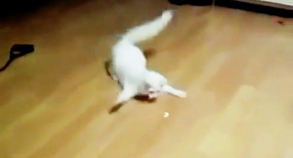 CGかと思った、、とんでもない動きでレーザーポインターを追いかける猫がヤバい笑