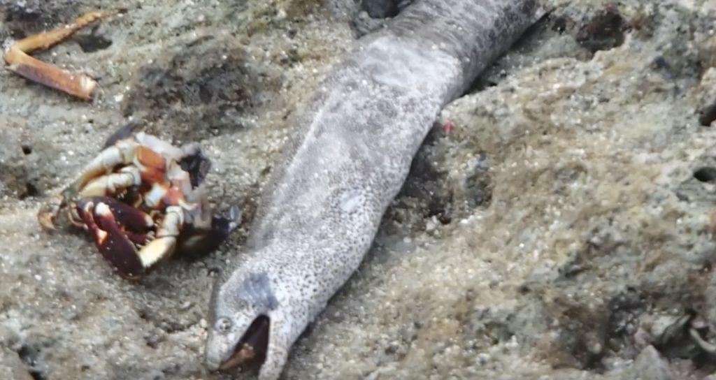 ウツボが陸上で捕食する動画が凄い!まるで蛇のように陸を移動する
