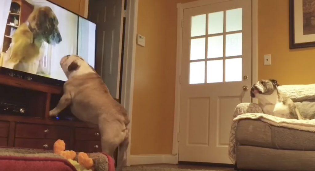 犬が猫を助ける、ハラハラドキドキの番組を見て応援する2匹のブルドッグ!