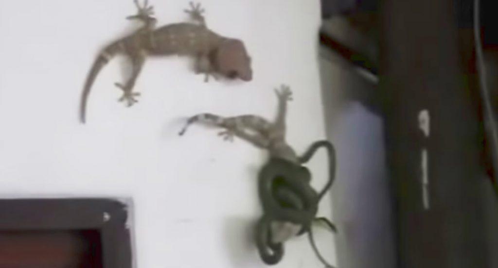 ヘビに絡まれた仲間を、捨て身で助けるヤモリの友情に感動!!