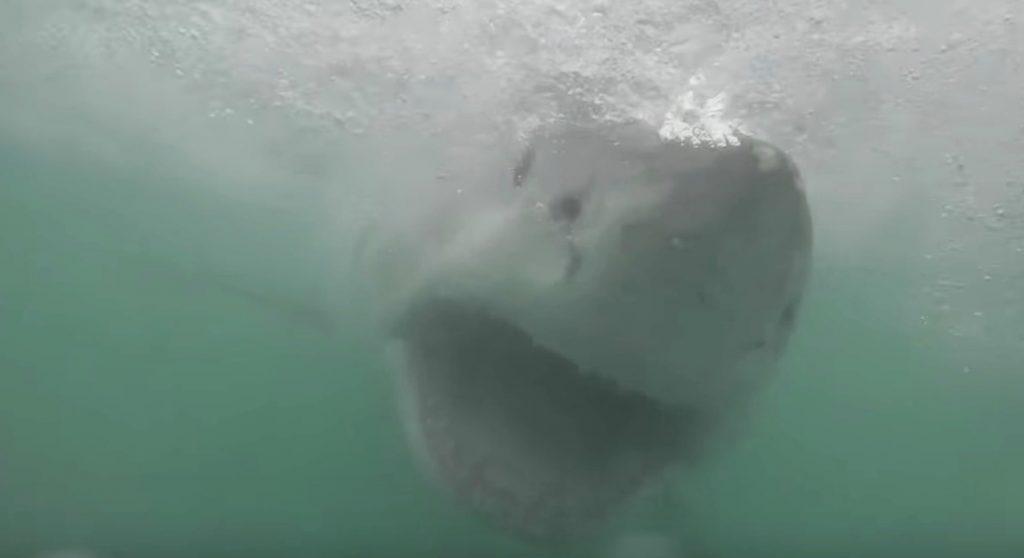 泳いでいたらホオジロザメが襲ってきた映像が怖すぎ!