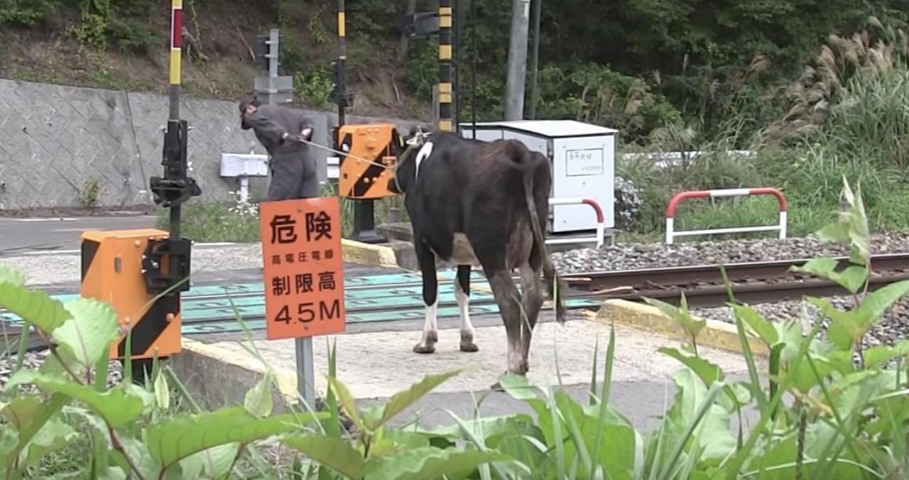 日本でもこんなことあるのか、、踏切の中で牛がいくら引いても動かなくなってしまった
