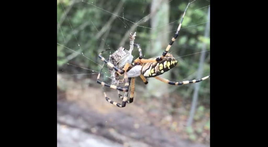 蜘蛛の巣にひっかかったカエル。一瞬でついた勝負の勝敗