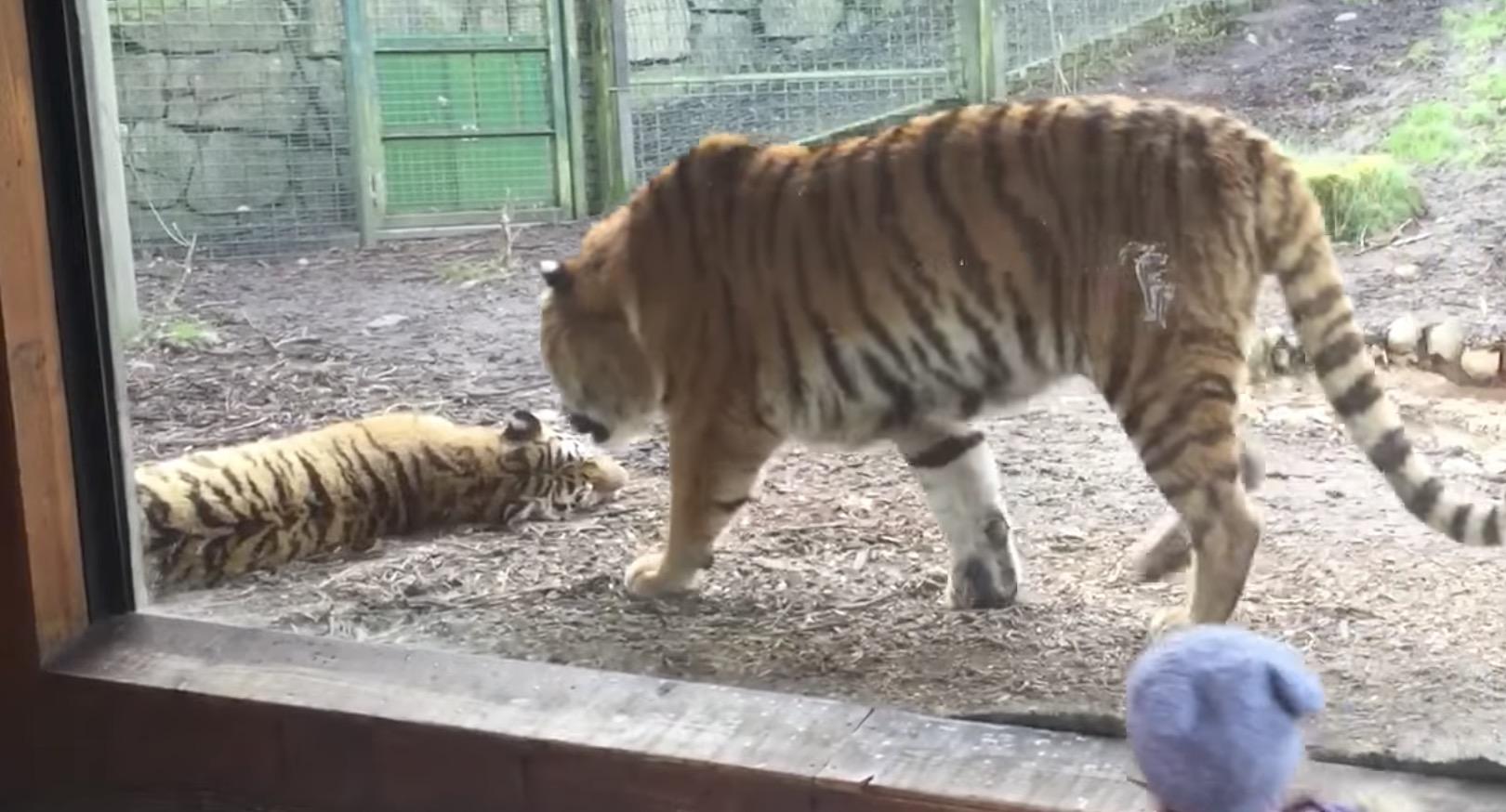 ぐっすり眠っているトラに、仲間がイタズラして大激怒!そんなに怒らなくても。。^ ^;