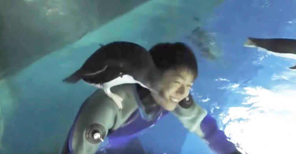 清掃中に勝手に肩に乗ってくるペンギンが可愛いすぎる!
