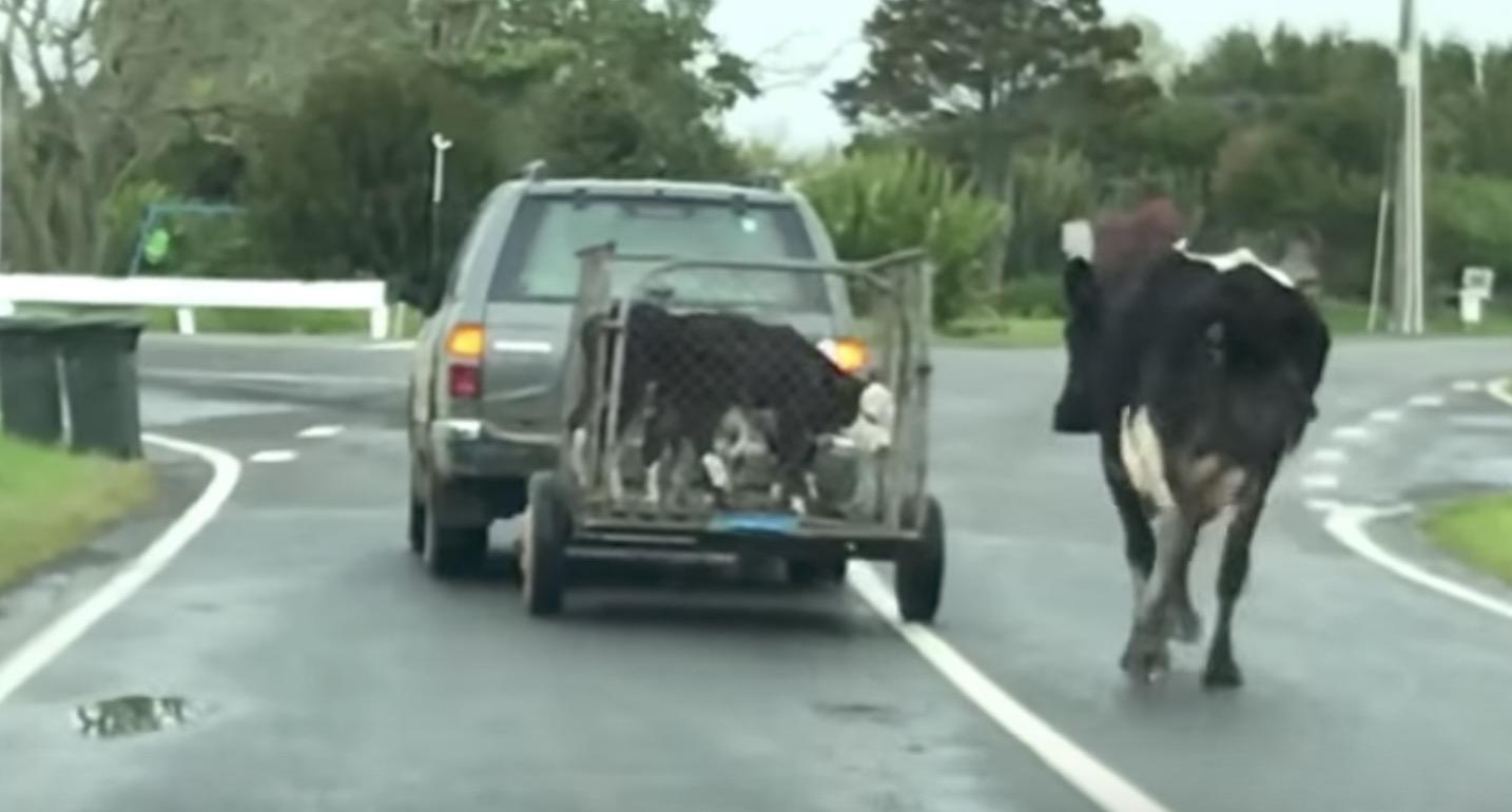 「子供を返して、、」連れて行かれる子牛をいつまでも追いかける母牛の動画が「悲しい」と話題に