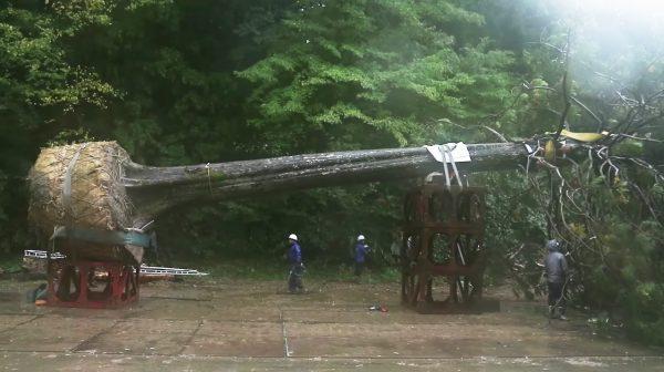 樹齢150年の木を掘り起こし、世界一のクリスマスツリーにする企画が物議!木の「その後」の運命に批判が集まる
