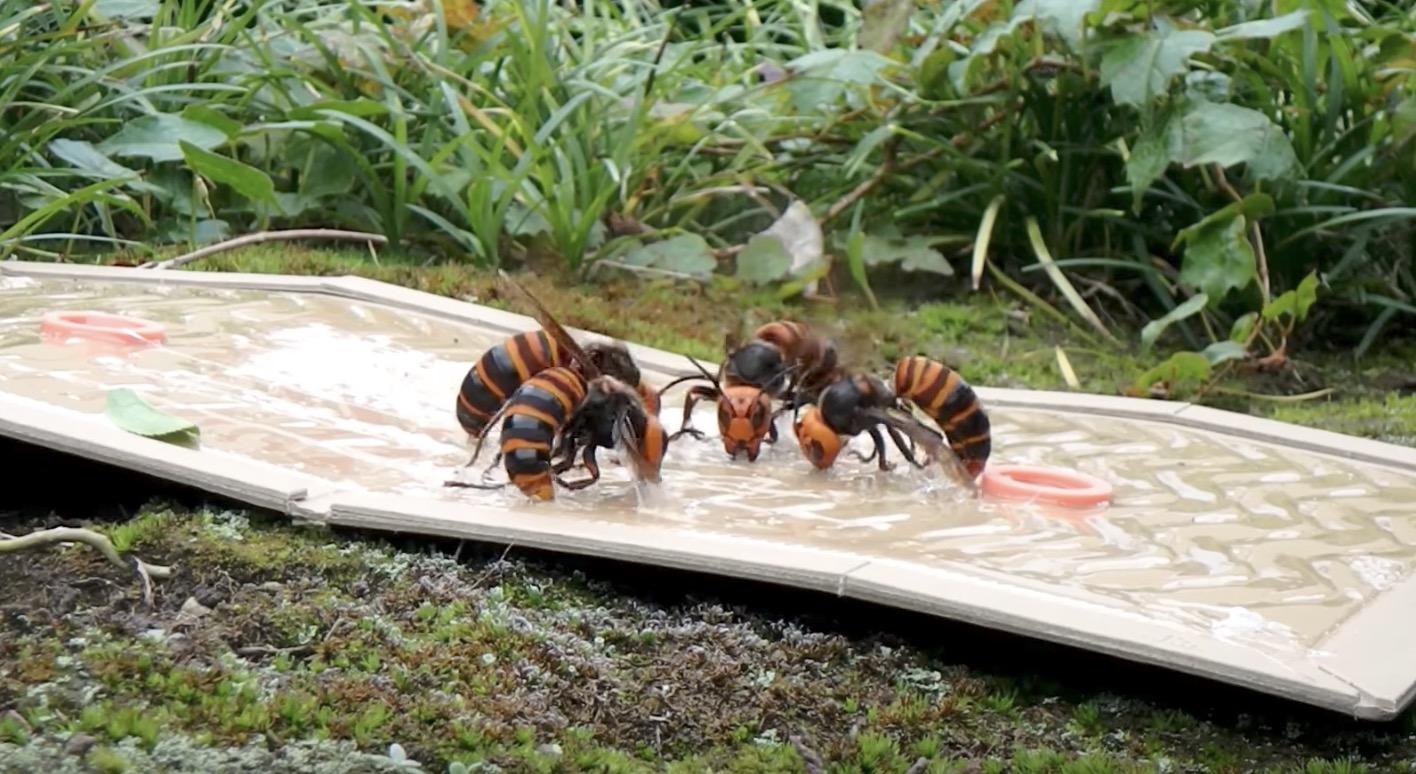 外出から戻ってきたハチも一網打尽!「オオスズメバチ」がホイホイ捕れる動画がスゴい