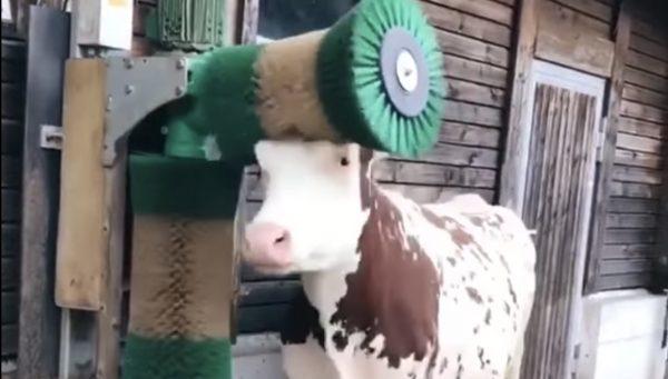 回転タワシを愛する牛。恍惚の表情で色々なところをマッサージ笑