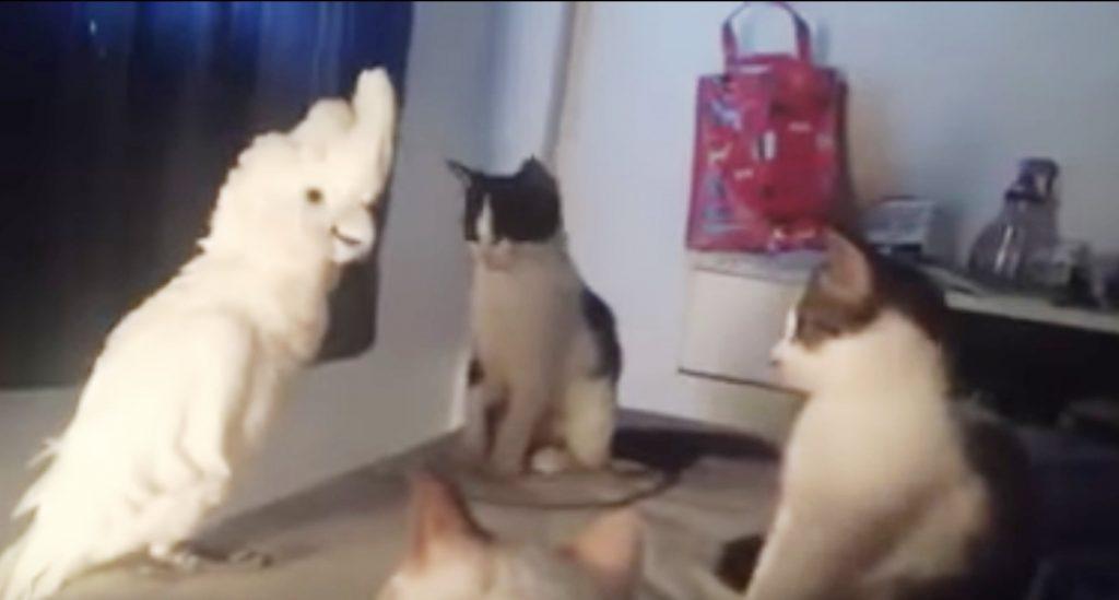 「ニャー!」と猫の言葉を完コピして会話に参加するオウムが凄い。猫たちはドン引きの様子^ ^;