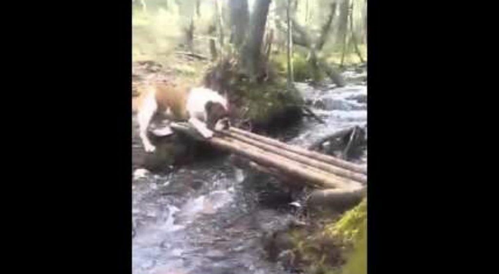 橋を渡るのを怖がるブルドッグ。しかし自分なりのユニークな方法を編み出す!