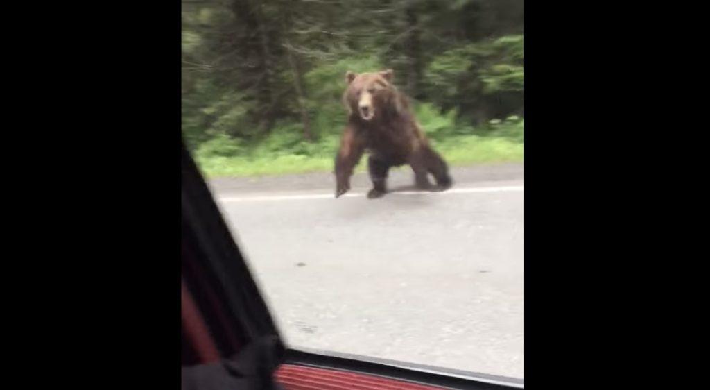 ドライブしていたら熊が車に突進、追いかけて来た!