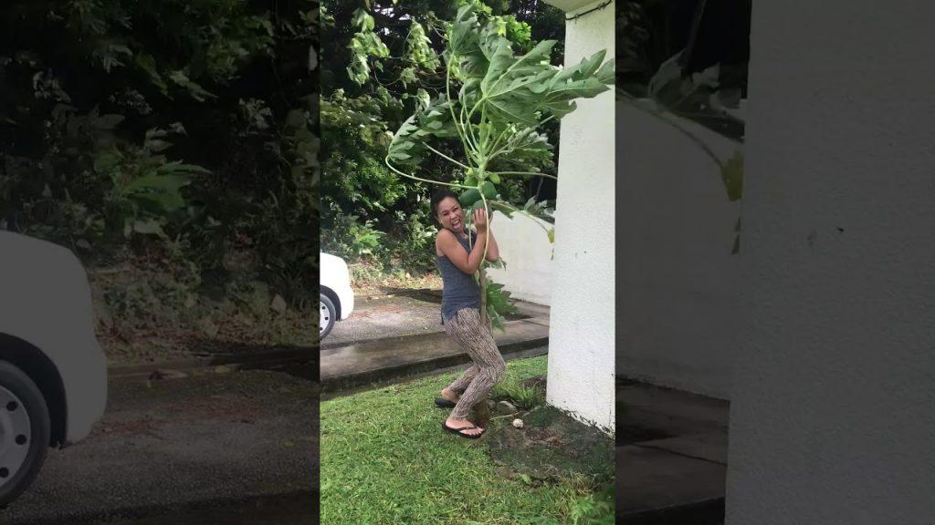 沖縄で撮影された「2年間育てたパパイヤを命がけで台風から守る女性」の動画が世界で話題に笑