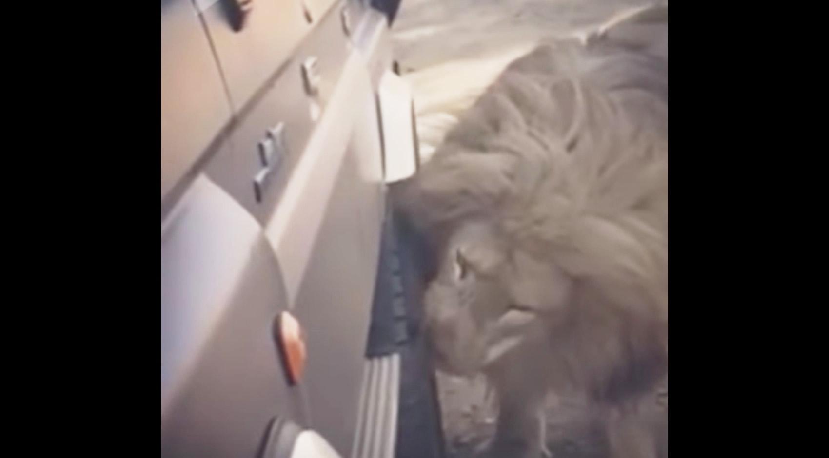 ライオンの顎の力が凄すぎる、、車のタイヤをパンクさせてしまうライオン