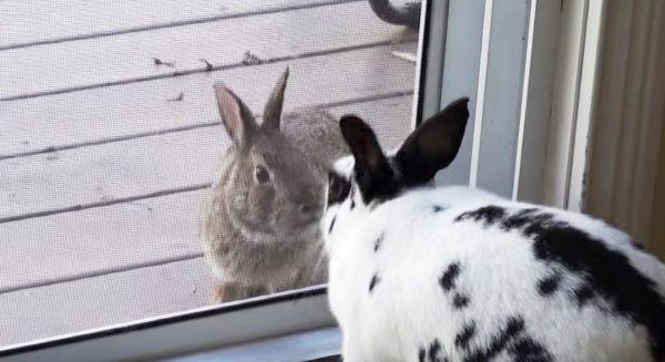 恋に落ちたペットと野生のウサギ。こんなに近くにいるのに、、ペットと野生動物の実らぬ恋に涙