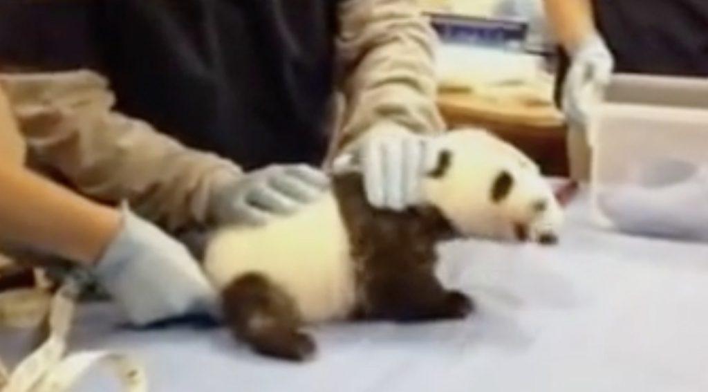 「人間の赤ちゃんのようだ」赤ちゃんパンダの力強い声にびっくり!