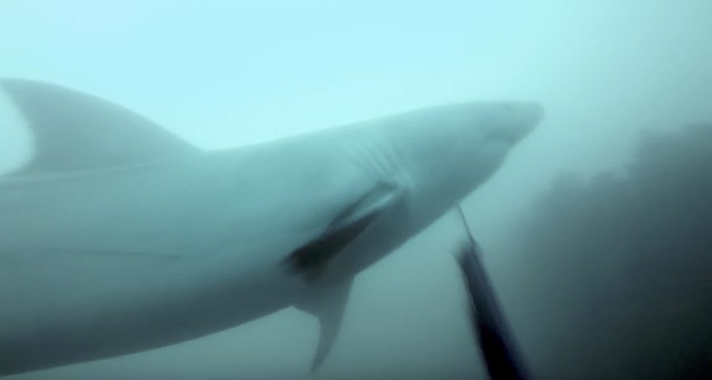 ダイビング中にホオジロザメに遭遇!しつこく追跡してくる恐怖の時間