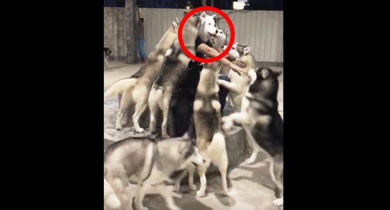 「仲間だー!」犬のマスクを被ったらハスキー犬が大集合!あまりの人気っぷりにタジタジ^ ^;