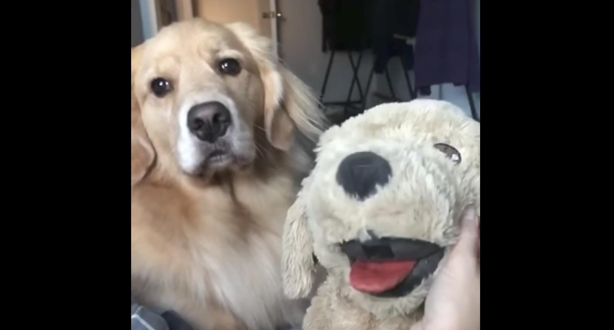 ぬいぐるみの犬を可愛がっていたら、飼い犬が嫉妬してブチギレた笑