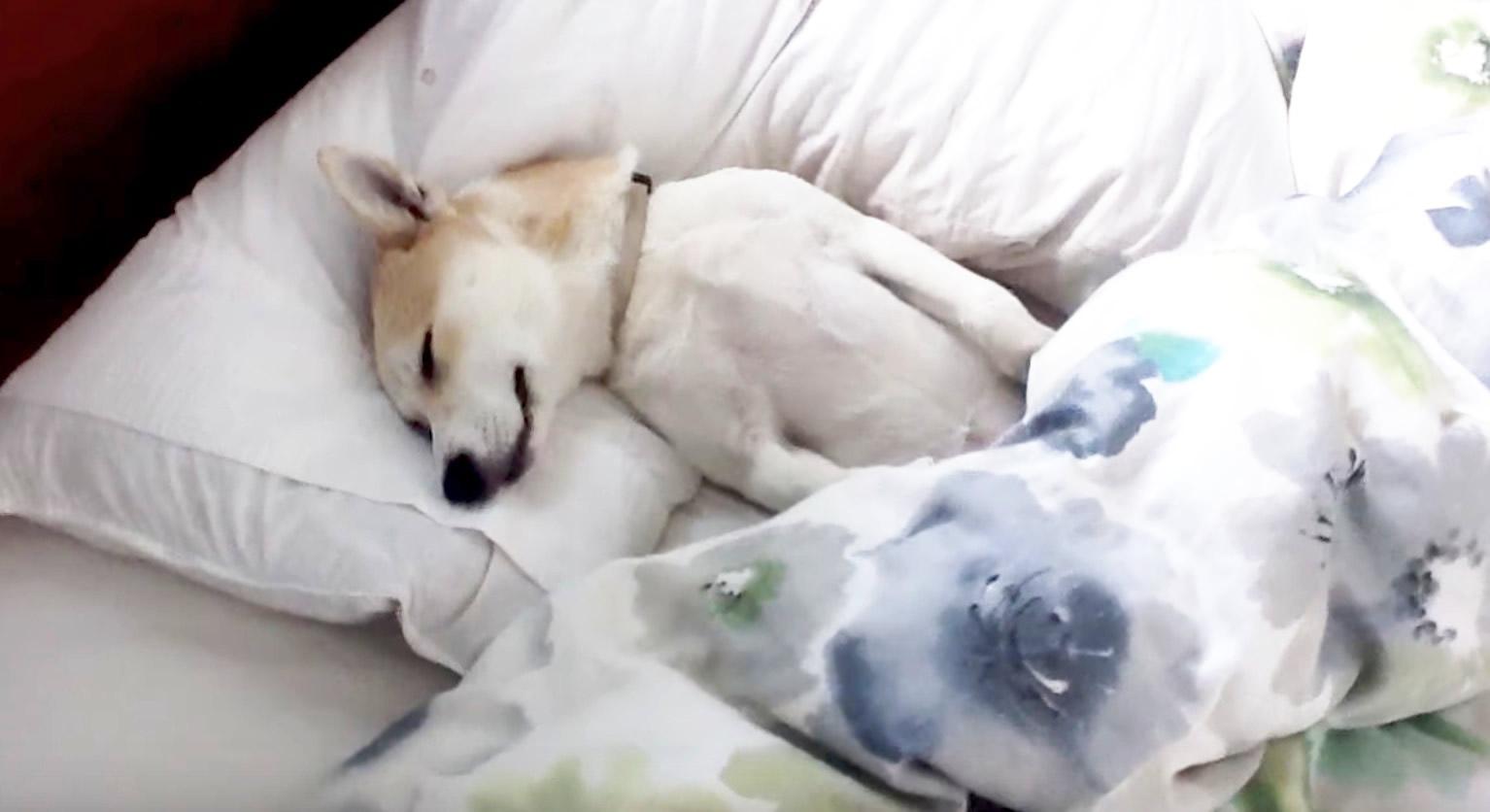 病院が嫌で死んだフリをする犬。何をやっても微動だにしなかったのに「おやつあるよ」と言った途端、、笑