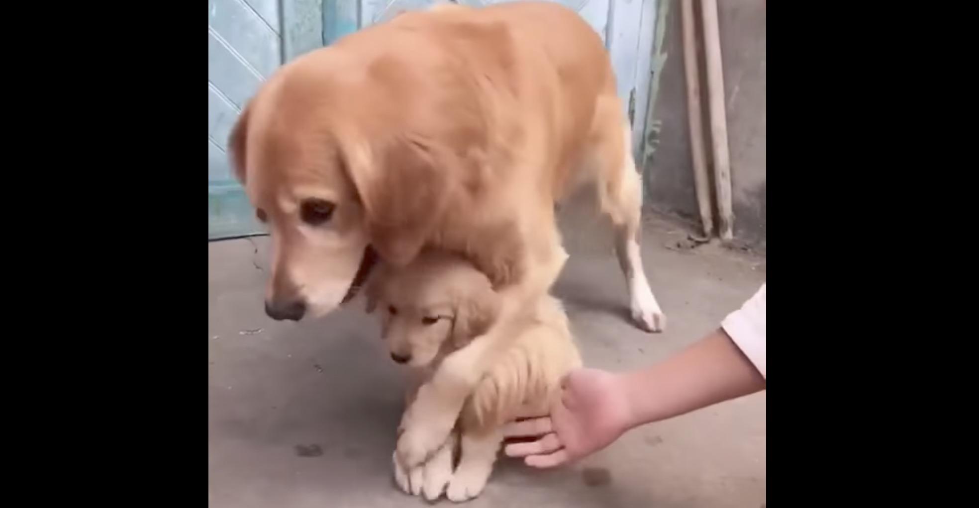 子犬を触らせてくれない過保護な母犬。子供をとても大切にしているのが分かる^ ^