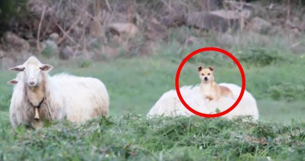 羊の背中に乗せてもらって移動する犬が話題に^ ^