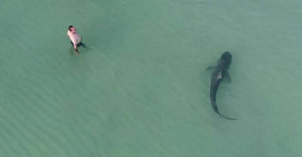 ビーチでドローン撮影していたら、人々が泳ぐところに大きな人食いザメが!