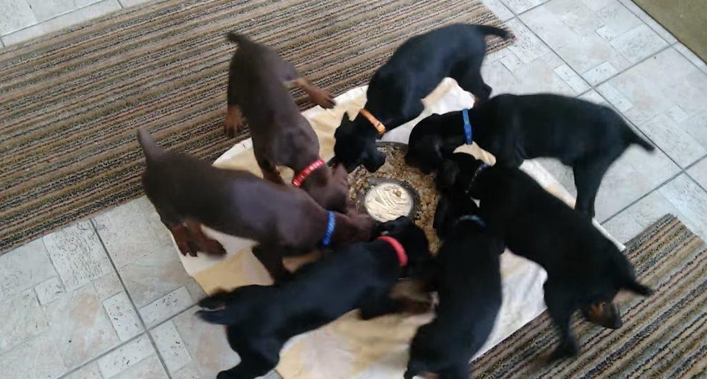 綺麗に回転しながらエサを食べるドーベルマンの子犬たち笑。「ローディングアイコンにしたい」の声