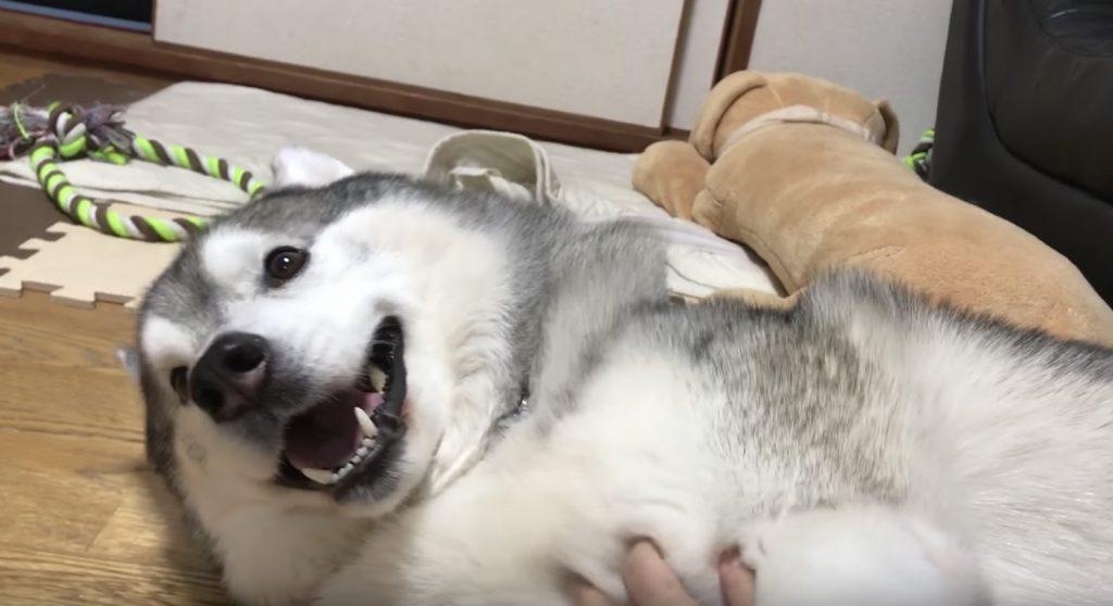 気持ち良さそうにお腹を撫でられるハスキー犬。撫でを止めた時の反応が可愛い笑