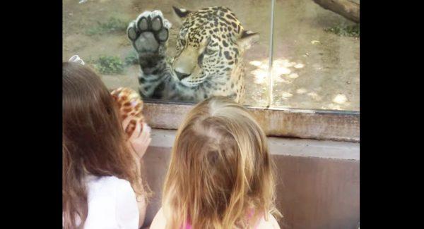 ジャガーと少女たちが交流する映像に癒される