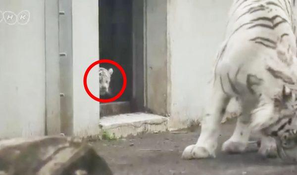 イタズラ好きの赤ちゃんホワイトタイガー。その行動に大人タイガーも超びっくり!
