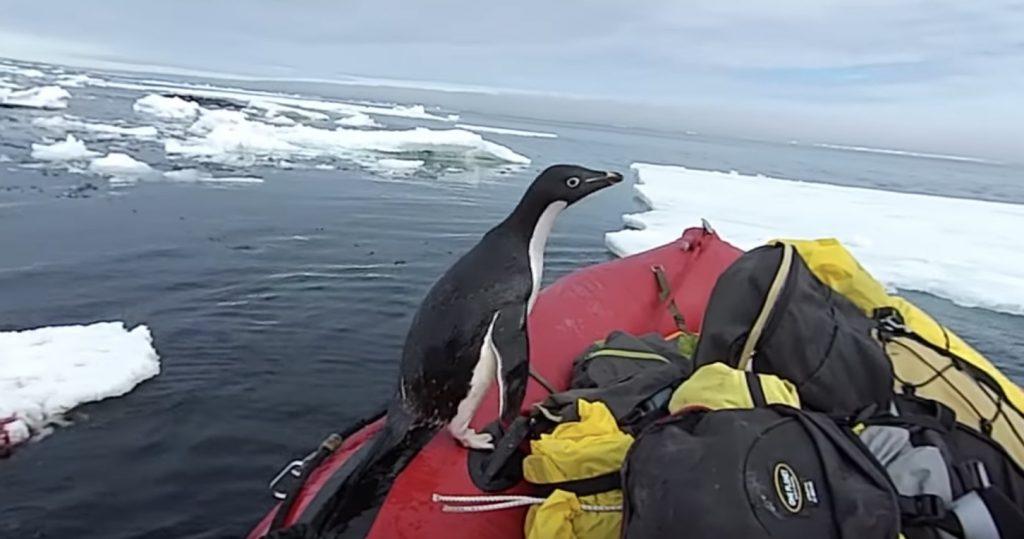 ボートに突然ペンギンが飛び乗ってきた!「ここはどこ?」と戸惑うペンギン