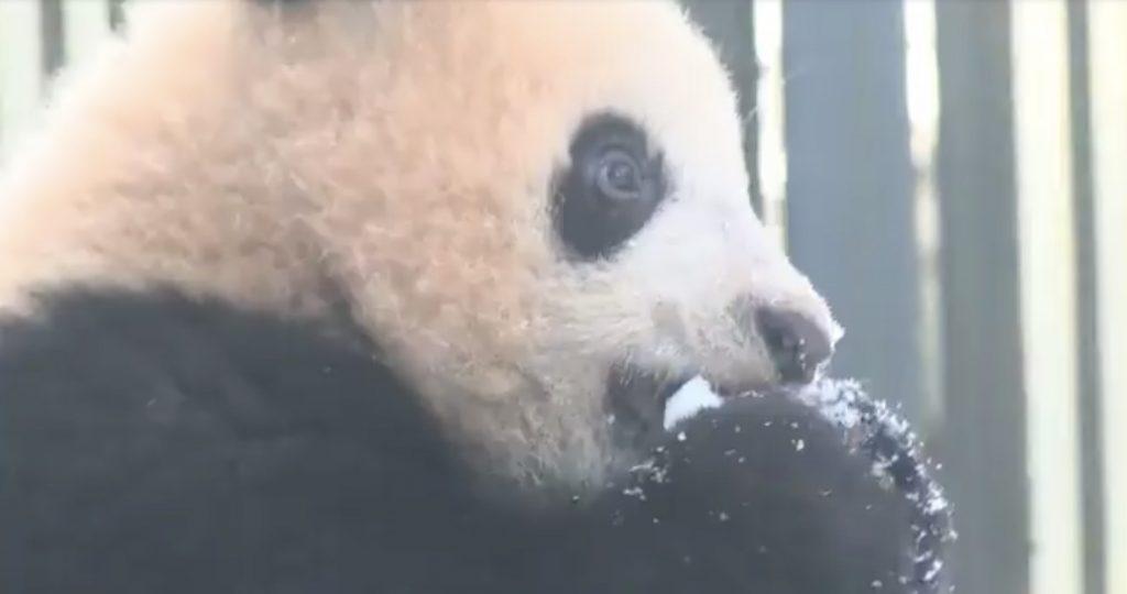 上野動物園のシャンシャン、生まれて初めての雪を満喫!雪をパクパク食べる^^