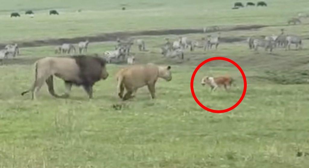 野生のライオンに近づく一匹の犬。ヒヤヒヤして見ていたら、ライオンもびっくりの行動に!
