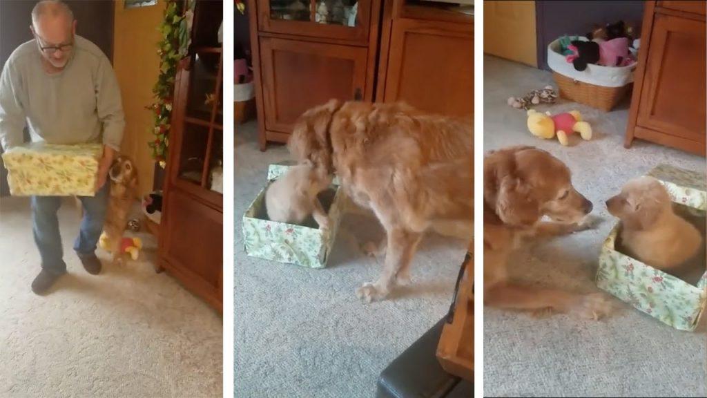クリスマスに子犬をプレゼントされたゴールデンレトリバー。大喜びの初対面!